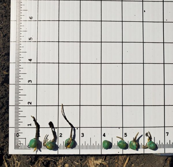 IN FURROW APPLICATION RESULTS (12 DAYS AFTER PLANTING)